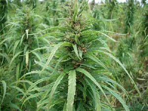 La coltivazione dei fiori di canapa
